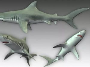 Read more about the article Great White Shark